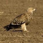 Дълъг уикенд по българското Черноморие и Сакар: 3 дни в преследване на 15 вида птици