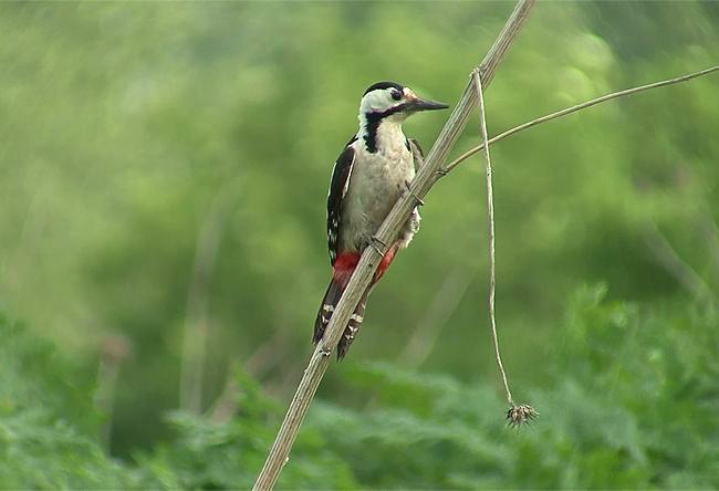 Syrian-20Woodpecker