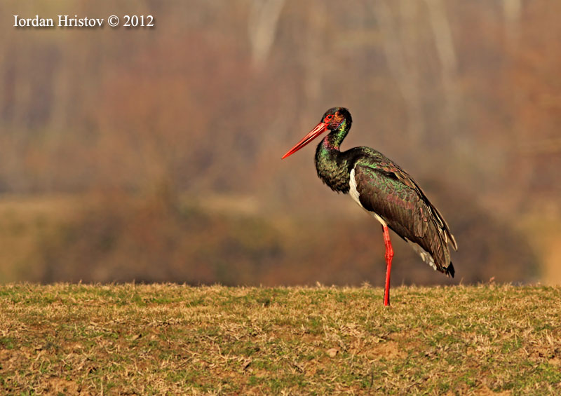 Black_stork_photography_IMG_3015_web