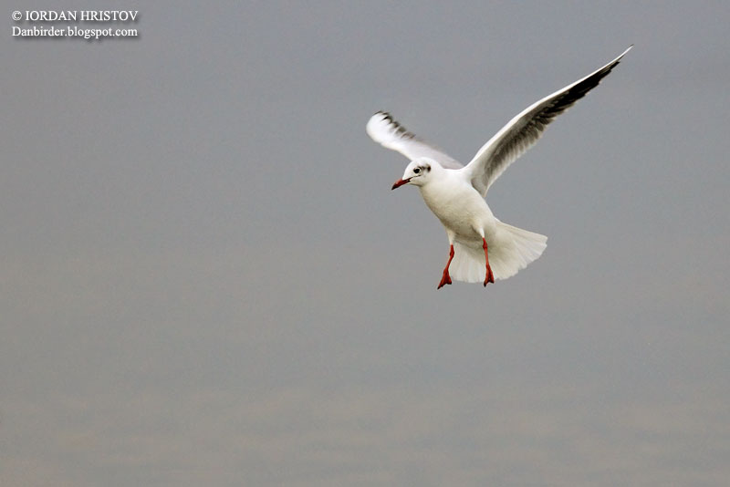 Black headed Gull in the air