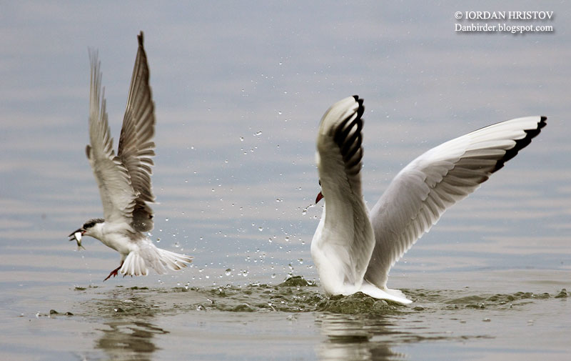 Black-headed Gull chasing Black tern