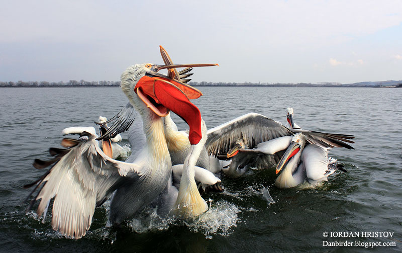 Pelicans in Greece