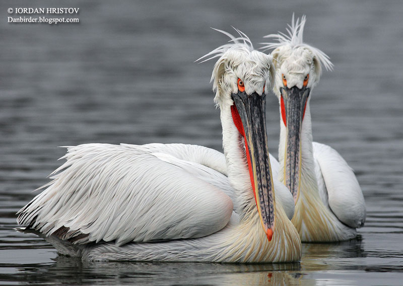 Pelican intimacy