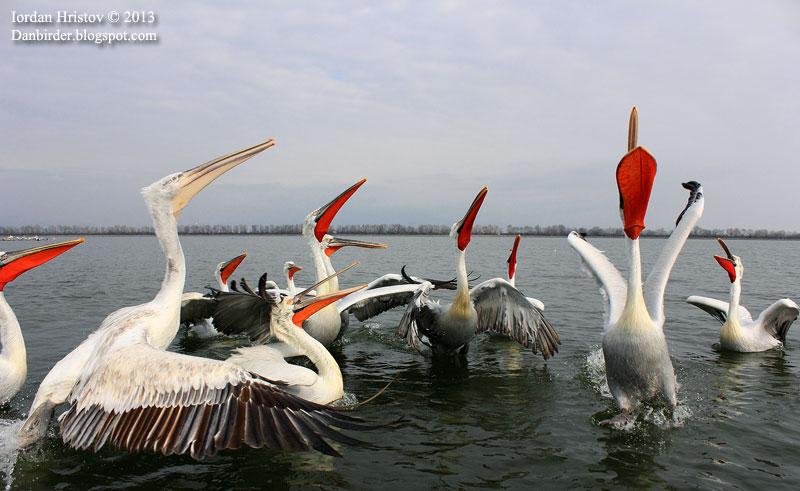 Dalmatian Pelican fishing