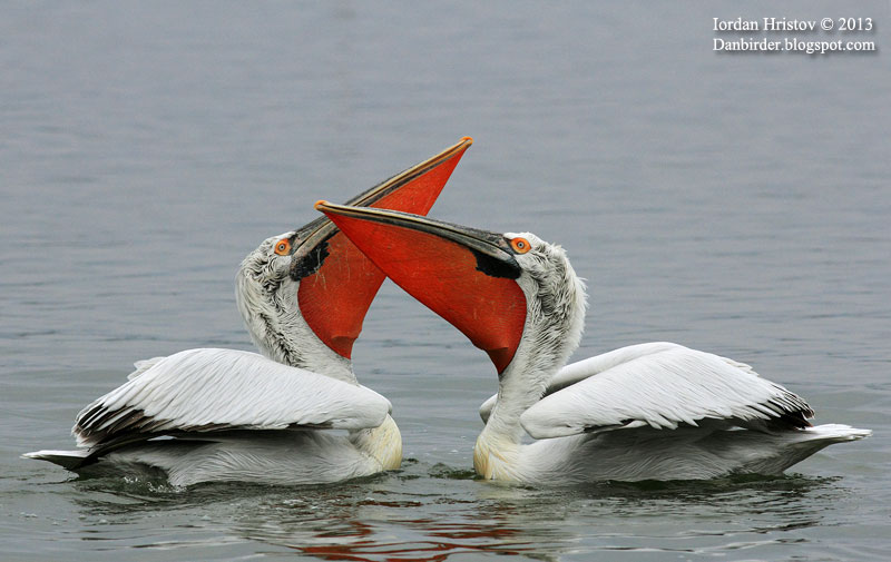 Pelicans in dispute