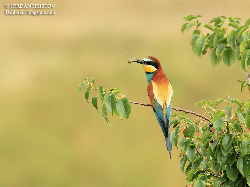 Bee-eater_photography_2554_web_blog