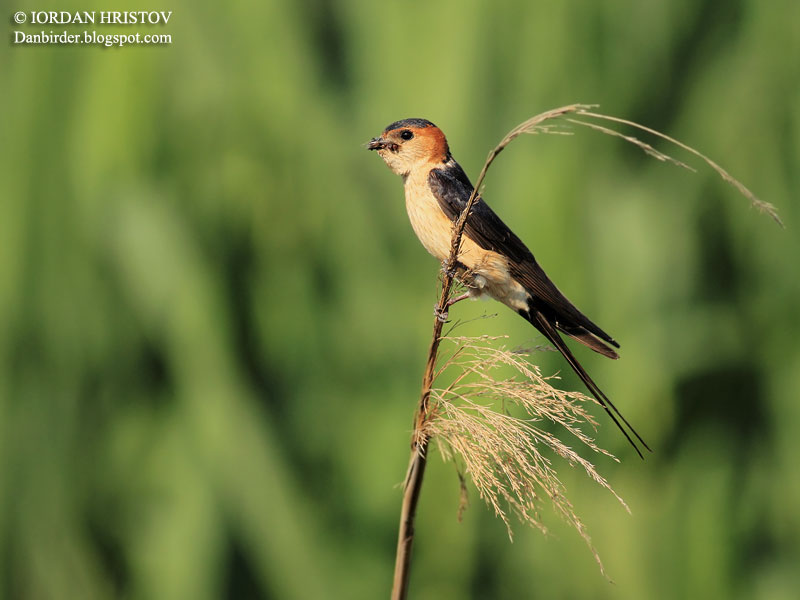 Red-rumped_swallow_1581_ed_web_blog