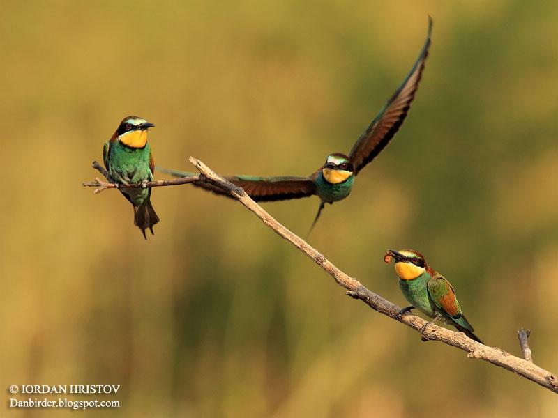 Bee-eater_photography_Bulgaria_Iordan_Hristov_3074_ed_web_blog