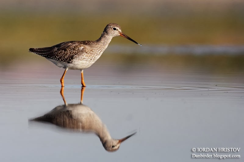 Redshank_photography_Bulgaria_Iordan_Hristov_9176_web_blog