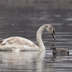 Dalmatian and White Pelican photography