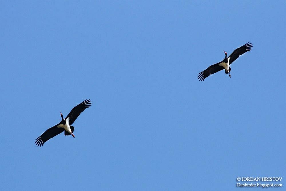 Black_Stork_Iordan_Hristov_6907_ed_web_blog