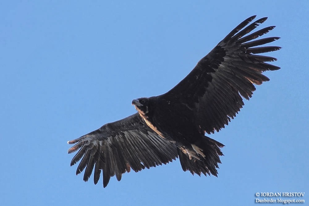 Black_Vulture_Iordan_Hristov_6792_ed_web_blog