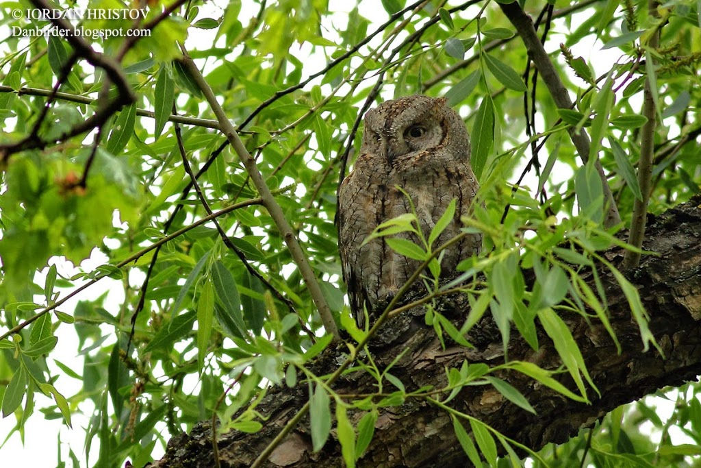 Scops_Owl_photography_7139_ed_blog