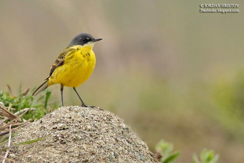 Yellow_Wagtail_Bulgaria_Iordan_Hristov_7251_ed_web_blog