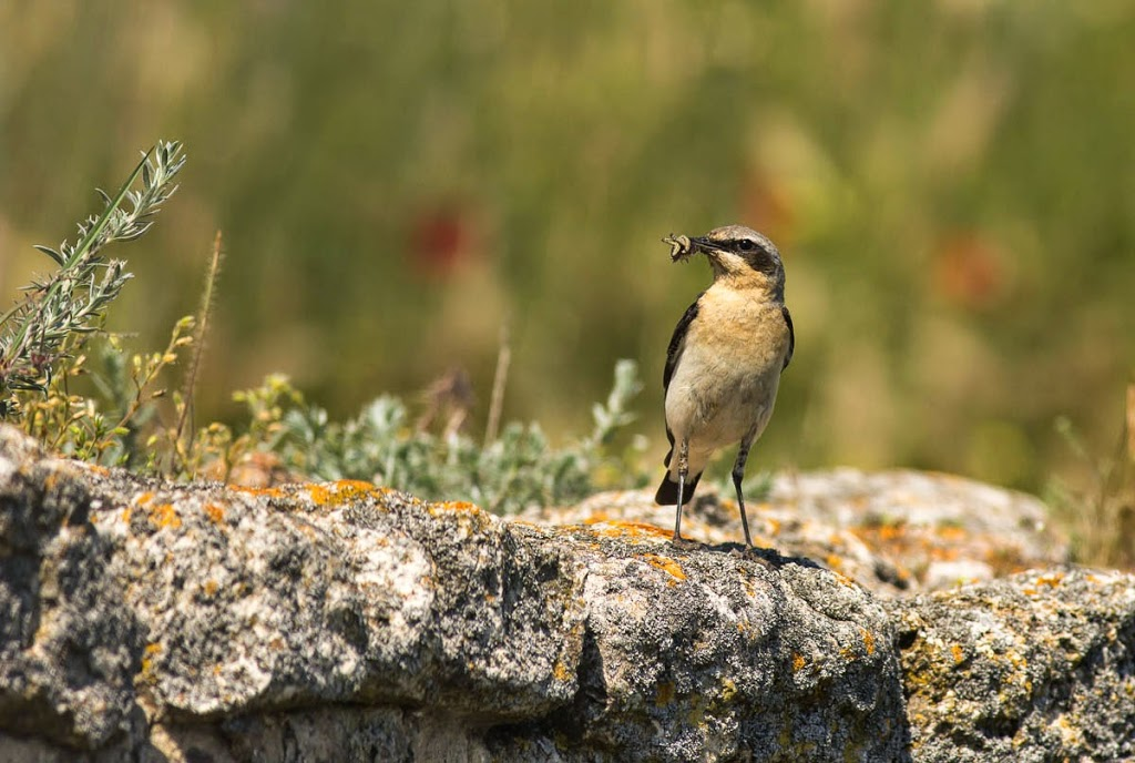 Northern Wheatear photography, copyright Iordan Hristov
