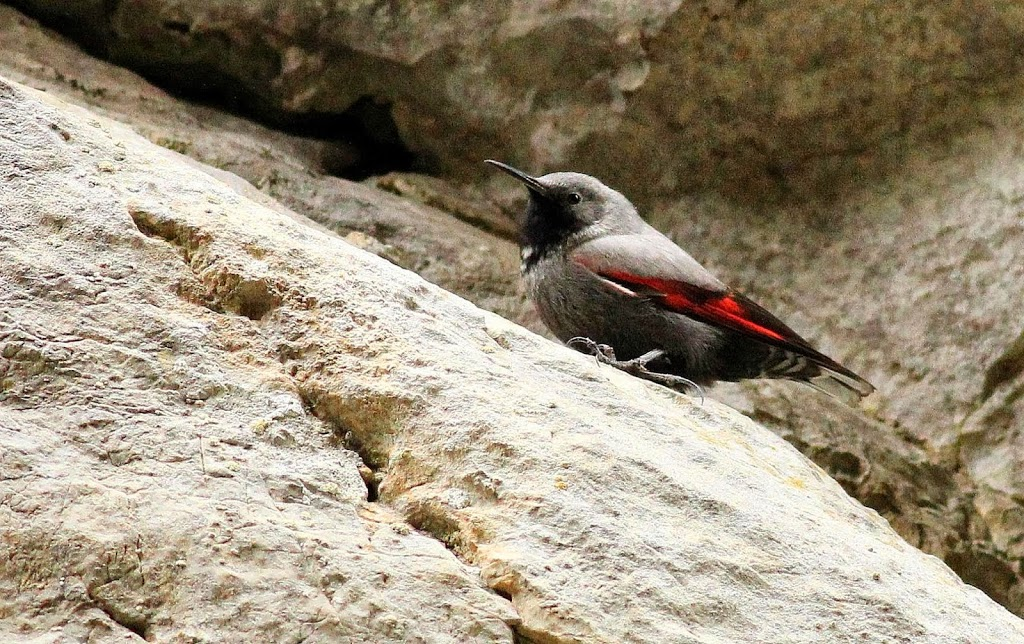 Wallcreeper photography in Bulgaria