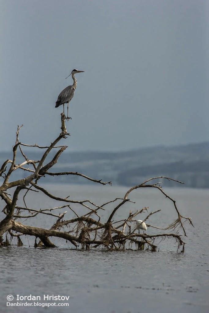 Grey Heron, Copyright Iordan Hristov