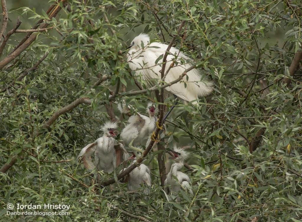 Little Egret, Copyright Iordan Hristov