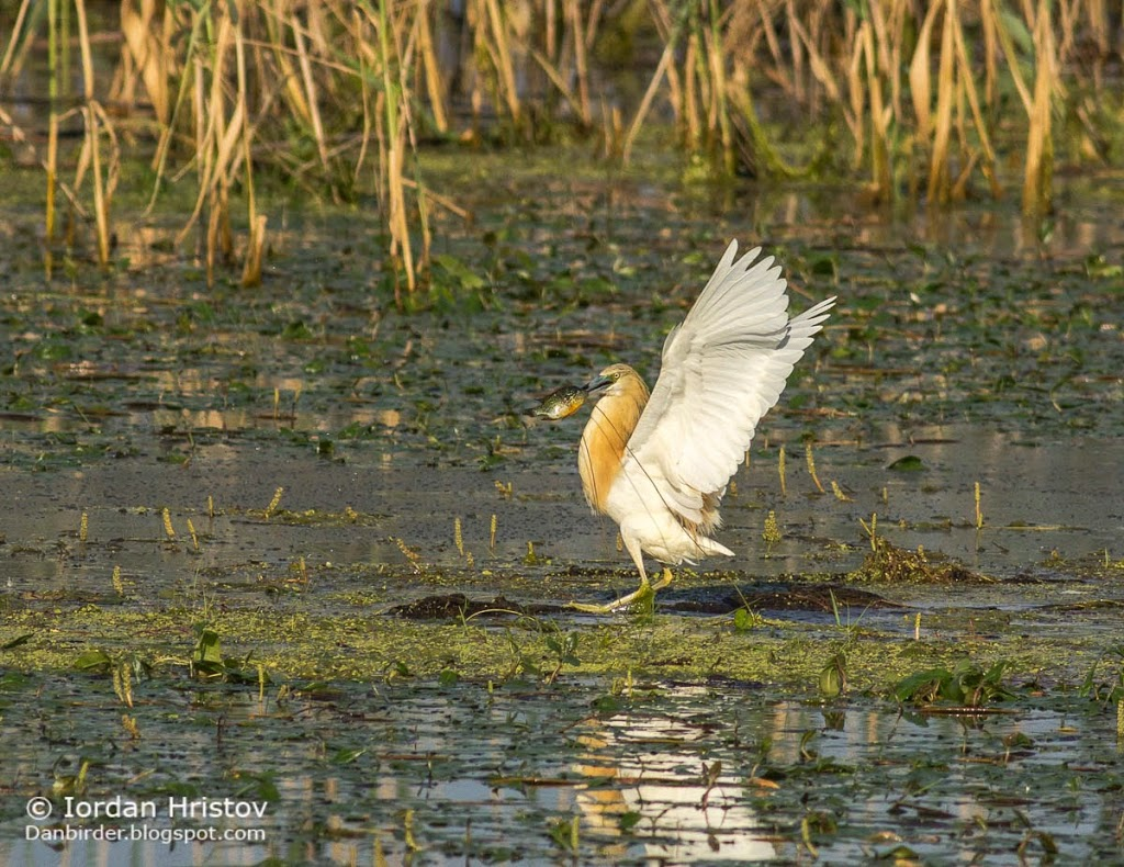 Squacco Heron, copyright Iordan Hristov