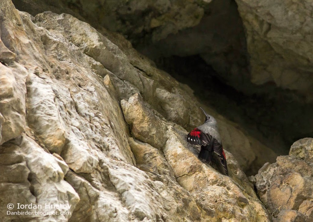 Wallcreeper_photography_Bulgaria_Iordan_Hristov-3851