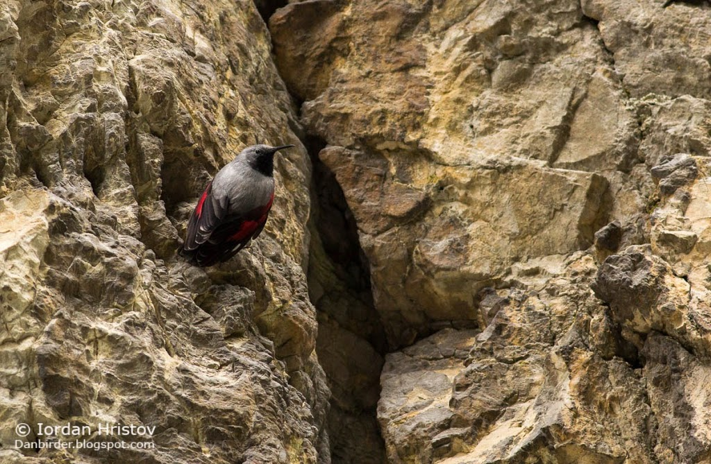 Wallcreeper photography in Bulgaria, copyright Iordan Hristov