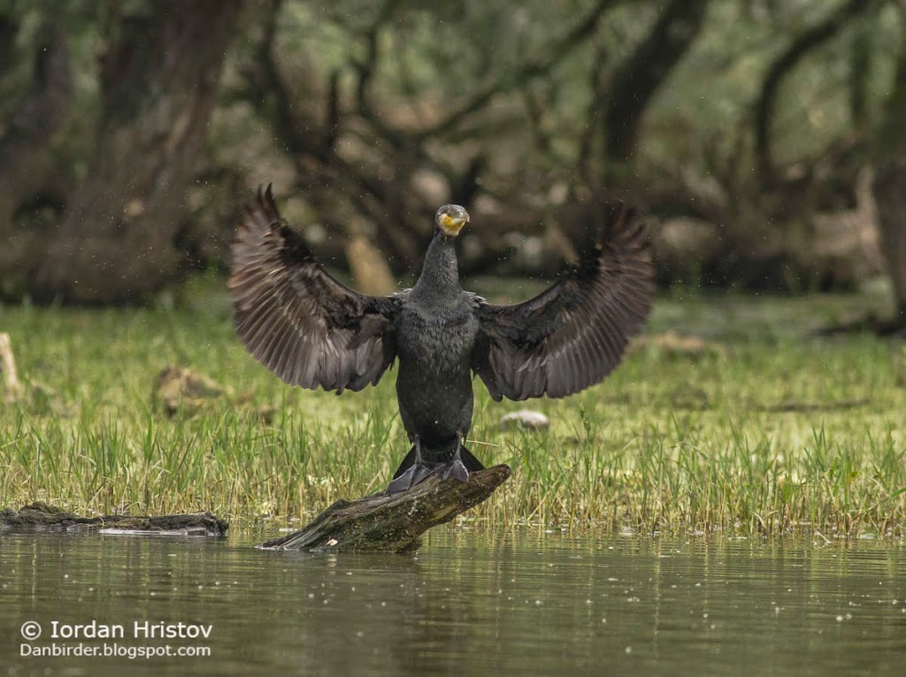 Great Cormorant, copyright Iordan Hristov