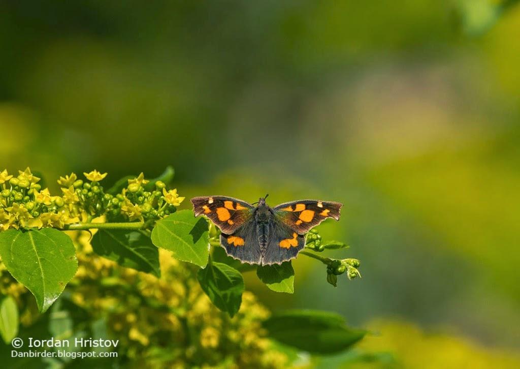 Nettle tree butterfly Libythea celtis, copyright Iordan Hristov