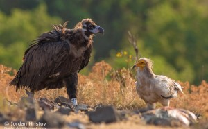 Black_vulture_photography_Iordan_Hristov-5205
