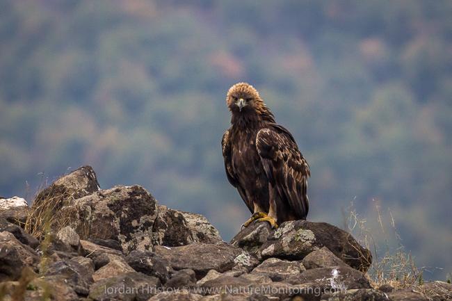 Golden_Eagle_photography_Bulgaria_Iordan_Hristov_web-1866