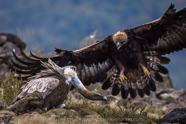 Golden_Eagle_photography_Bulgaria_Iordan_Hristov_web-1872