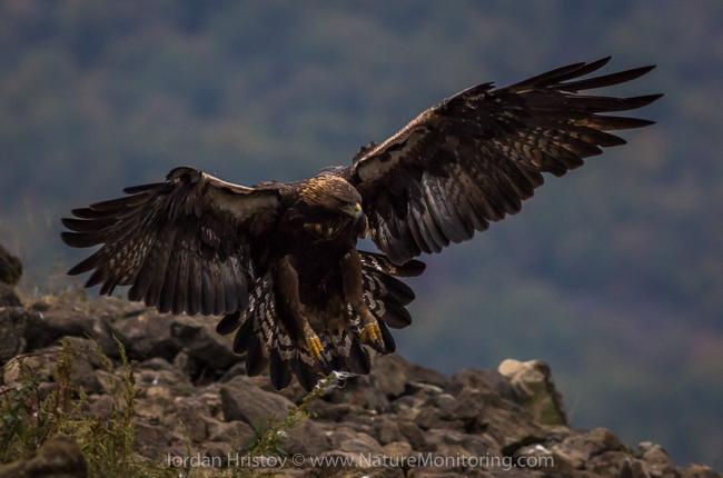 Golden_Eagle_photography_Bulgaria_Iordan_Hristov_web-1892