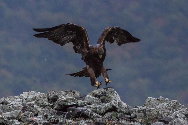 Golden_Eagle_photography_Bulgaria_Iordan_Hristov_web-8986