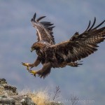 Golden Eagle and Griffon Vulture photography
