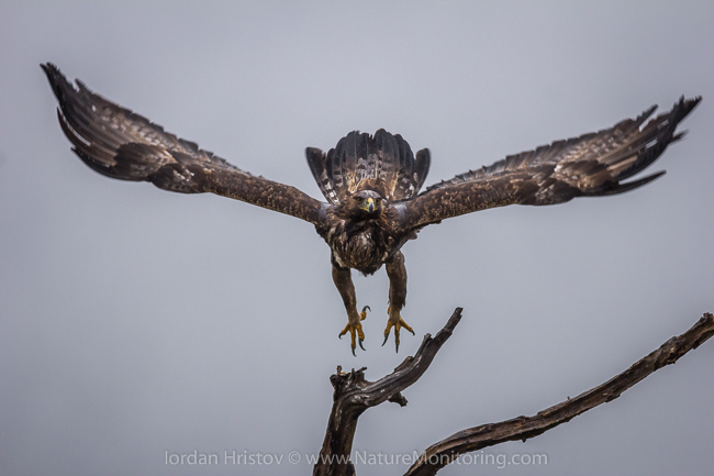 Golden_Eagle_photography_Bulgaria_Iordan_Hristov_web-9446