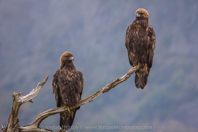 Golden_Eagle_photography_Bulgaria_Iordan_Hristov_web-9579