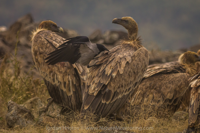 Griffon_Vulture_photography_Bulgaria_Iordan_Hristov_web-0676