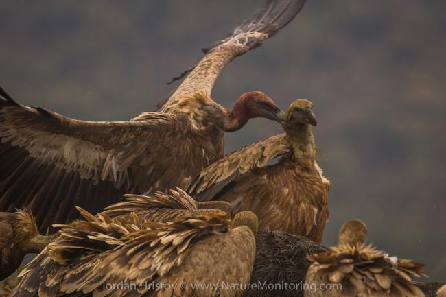 Griffon_Vulture_photography_Bulgaria_Iordan_Hristov_web-0840
