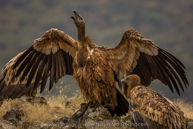Griffon_Vulture_photography_Bulgaria_Iordan_Hristov_web-1063