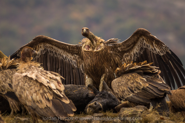 Griffon_Vulture_photography_Bulgaria_Iordan_Hristov_web-1077