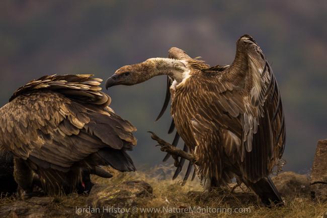 Griffon_Vulture_photography_Bulgaria_Iordan_Hristov_web-1190