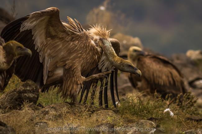 Griffon_Vulture_photography_Bulgaria_Iordan_Hristov_web-1205