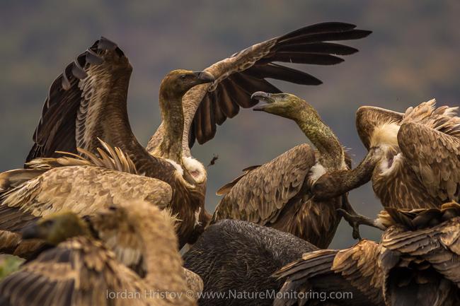 Griffon_Vulture_photography_Bulgaria_Iordan_Hristov_web-1251