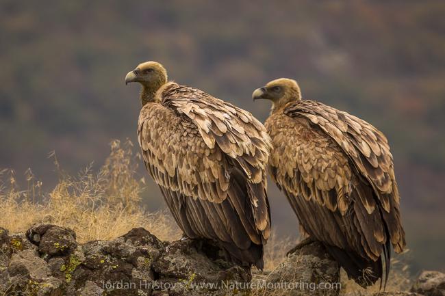 Griffon_Vulture_photography_Bulgaria_Iordan_Hristov_web-1258