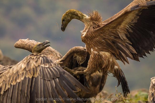 Griffon_Vulture_photography_Bulgaria_Iordan_Hristov_web-1280