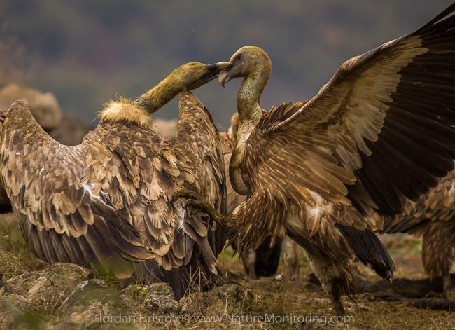 Griffon_Vulture_photography_Bulgaria_Iordan_Hristov_web-1336