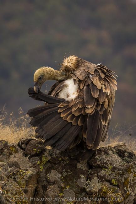 Griffon_Vulture_photography_Bulgaria_Iordan_Hristov_web-1362