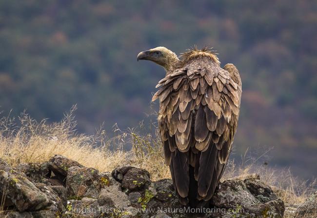 Griffon_Vulture_photography_Bulgaria_Iordan_Hristov_web-1400