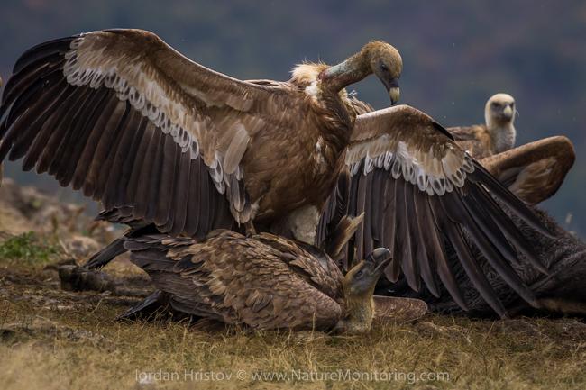 Griffon_Vulture_photography_Bulgaria_Iordan_Hristov_web-1505