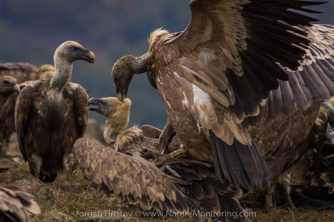 Griffon_Vulture_photography_Bulgaria_Iordan_Hristov_web-1509