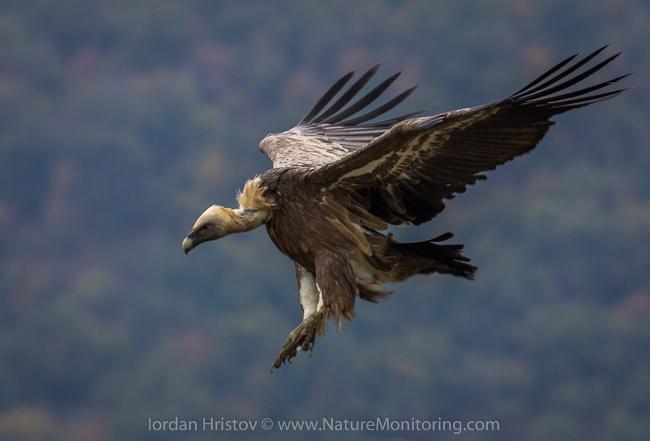 Griffon_Vulture_photography_Bulgaria_Iordan_Hristov_web-1536